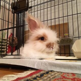 アンゴラウサギ の男の子