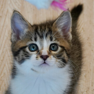 抱っこ大好き!元気な甘えん坊子猫ナンくん♪