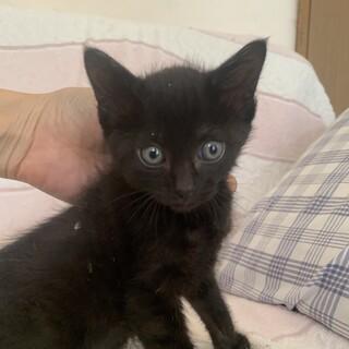 可愛い黒猫いさみちゃん 2か月齢