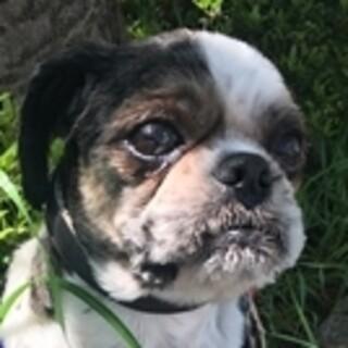 保護犬ナンバーD1381 シーズー