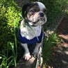 保護犬ナンバーD1381 シーズー サムネイル4