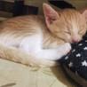 4月産まれ生後2ヶ月のキジ猫 ♂オス