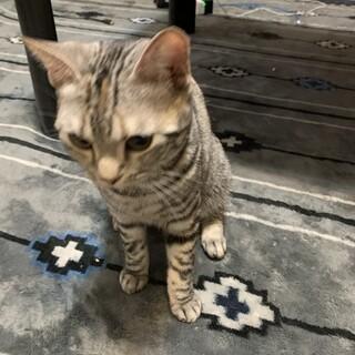好奇心旺盛なスコティッシュの雌猫です