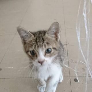 人なつっこい迷い猫(キジトラ、生後1ヶ月程度)