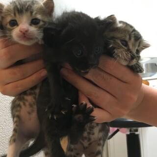 生後3週目 メスの子猫3匹