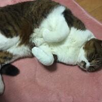 ティガー(実家の猫)