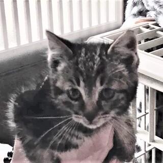 キジ猫1.5ヶ月か月ぐらい。女の子