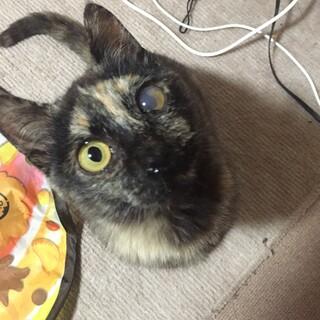 元気で人懐っこいサビ猫♀避妊済み