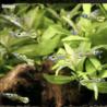 エンドラーズタイガー稚魚 サムネイル2
