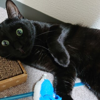 漆黒の貴公子、瞳が美しい大柄な黒猫