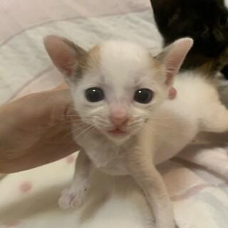 可愛い赤ちゃん白三毛ちゅーちょちゃん離乳中