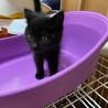 ふわふわの黒猫、くろみつちゃんです。