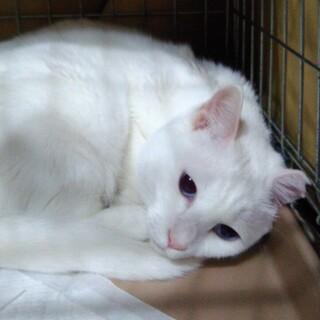 真っ白猫の ヤチヨちゃん!