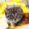 生後1.5ヶ月♡キジトラ♂洋猫MIXココナッツ