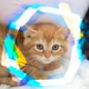 生後1.5ヶ月♡茶トラ♂洋猫MIXキャメル