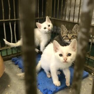7匹の子猫たち白毛とキジトラ