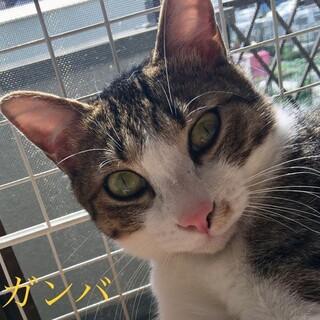 6.14予約制藤井寺保護猫譲渡会参加猫ガンバ♂