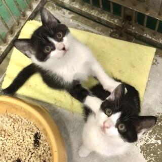 愛らしい白黒ハチワレ子猫3兄妹