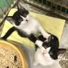 愛らしい白黒ハチワレ子猫三兄妹