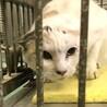 妊娠中の可能性あり白三毛成猫