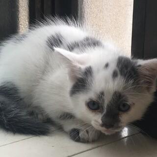1ヶ月半のかわいい子猫