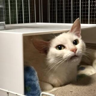 ピンクのお耳が可愛い美しい白猫ちゃんです♡