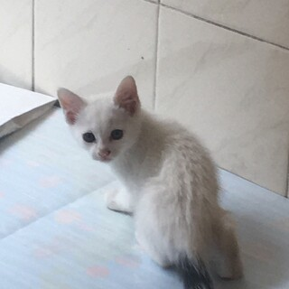 1ヶ月半の美人な白ネコ