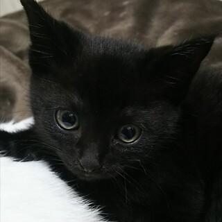 元気いっぱい元くん黒猫の仔猫1ヶ月半位ベタ慣れです