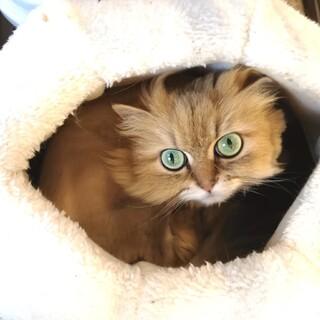 【保護猫】チンチラゴールデン・アニーちゃん♀