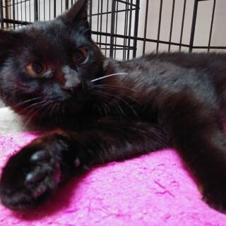 若い黒猫の舞ちゃん避妊検査済み