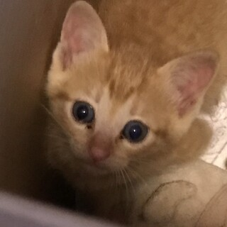 生後2が月くらいの茶トラ、メス猫です