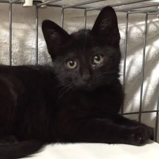 甘えん坊な黒猫女の子2.5ヶ月