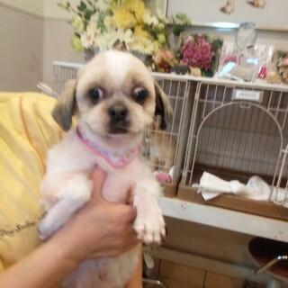 小型犬を保護、今月16日シーズ女の子お見合い予定。