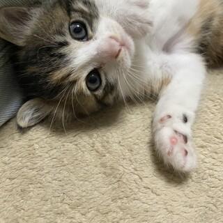 動物病院発!とっても可愛い三毛猫ちゃんです