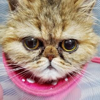 おもちゃ大好き! ペルシャ猫 桜子