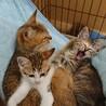 とても可愛いキジ子猫ロールちゃん サムネイル3