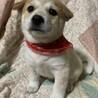 白茶ブチ垂れ耳仔犬④