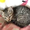 ママが必死で守り抜いた子猫 甘えん坊キジトラ