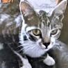 おまんじゅう的な超フワフワパステル三毛おばちゃん猫