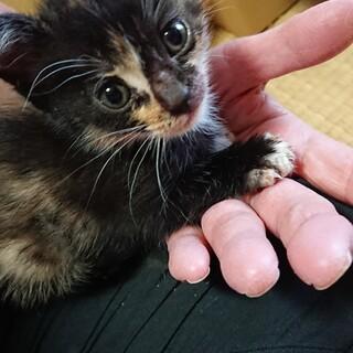 仔猫のサファイアちゃんの里親さん募集