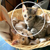 【生後2ヶ月】美人!薄めのキジ柄