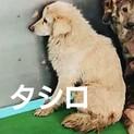 【感謝】繋がります!野犬のタシロ君/白垂耳♂