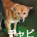 犬舎⑥野犬チャビ君/薄茶♂