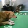 犬舎⑥野犬チャビ君/薄茶♂ サムネイル4