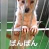 犬舎②ぽんぽんちゃん/薄茶♀