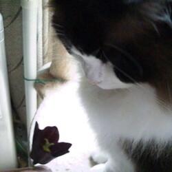 「クロユリは猫のお尻の臭い!?」サムネイル3