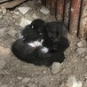 黒色と白黒の、生後1週間の猫ちゃん4匹