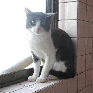 グレイのきれいな落ち着いた一才過ぎの猫