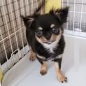 チワワの子犬アトムくん♂4ヵ月