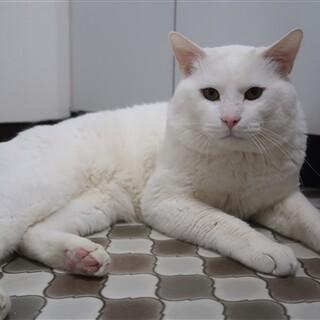 60家の保護ネコ★シロ